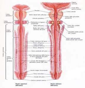 apertura femminile uretrale allargata